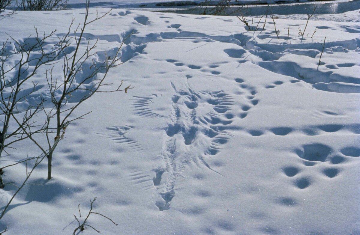 В Ярославской области животных посчитают по следам на снегу