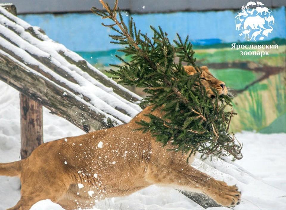 Ярославский зоопарк вновь начал принимать от населения живые елки