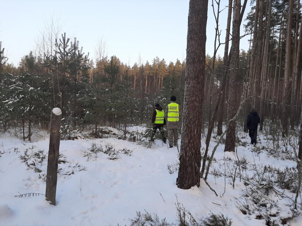 В Ярославской области выявили один случай незаконной вырубки елей