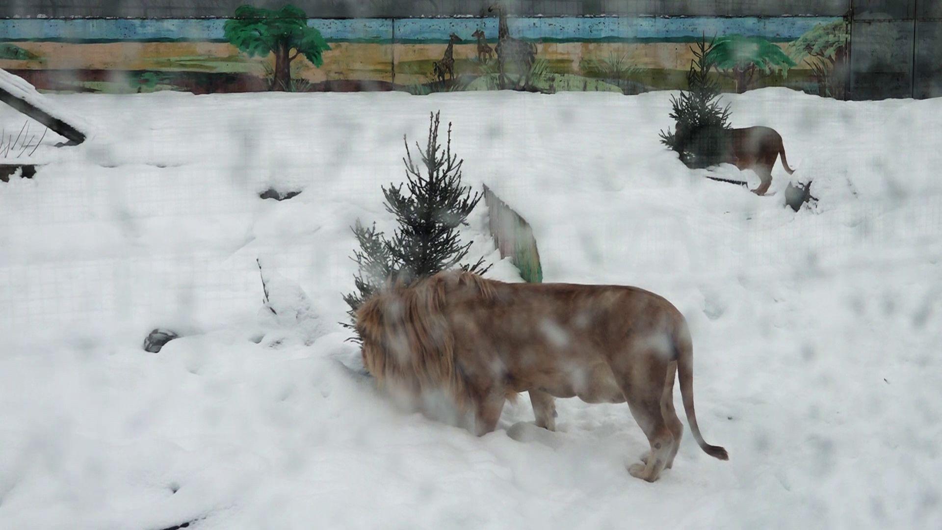 Более двухсот ярославцев отдали новогодние ели в зоопарк