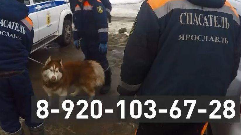 В центре Ярославля потерявшаяся собака запрыгнула в машину