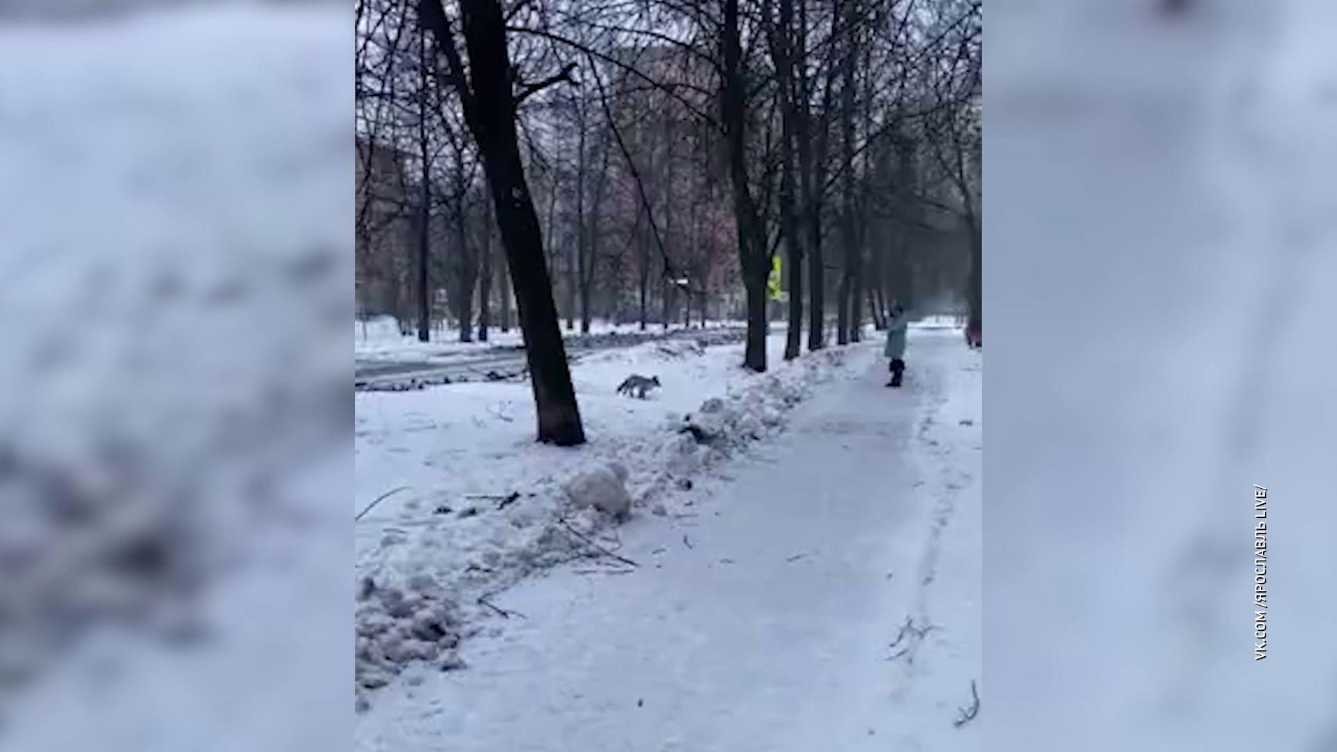 В центре Ярославля вновь заметили лису