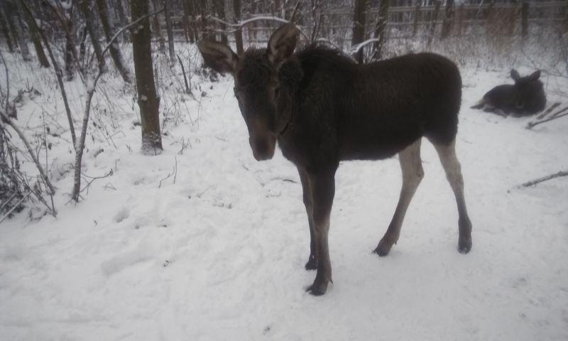 В Ярославской области задержали мужчину, подстрелившего лося у дороги