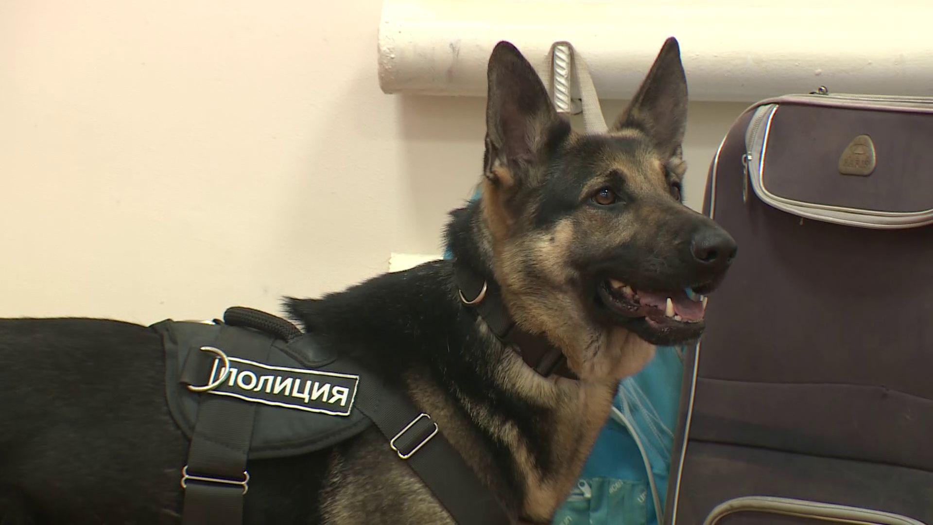 Ярославские служебные собаки продемонстрировали свои навыки