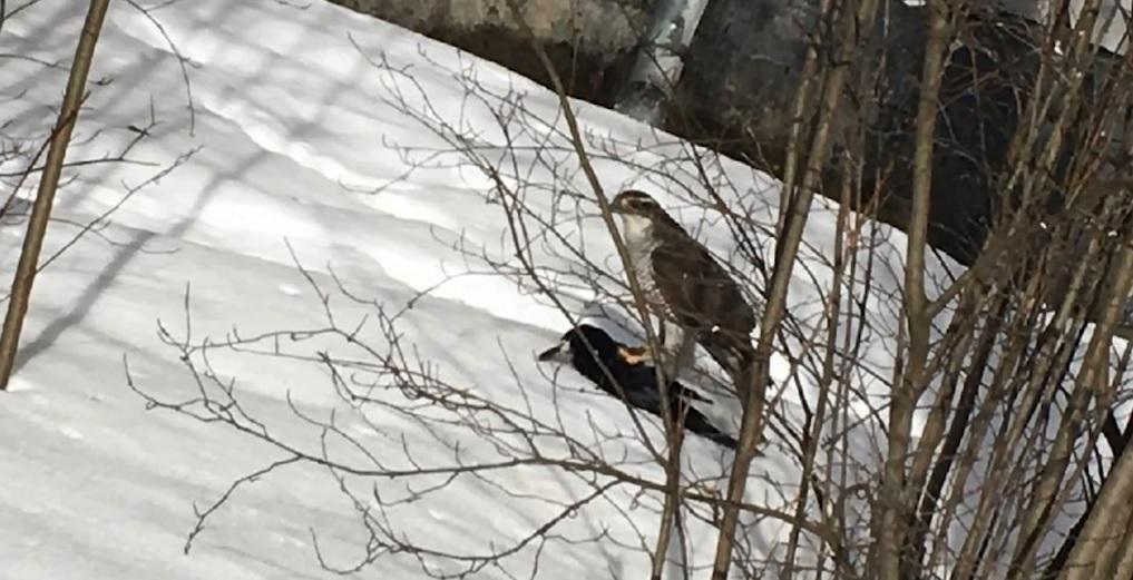 В Ярославле ястреб-тетеревятник добыл ворону