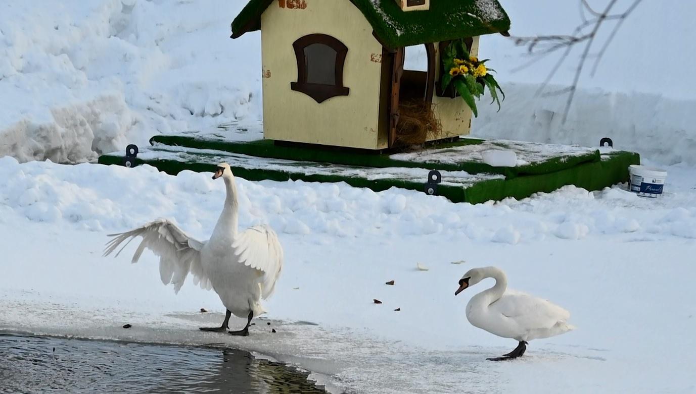 В Карякинском парке Рыбинска поселились лебеди