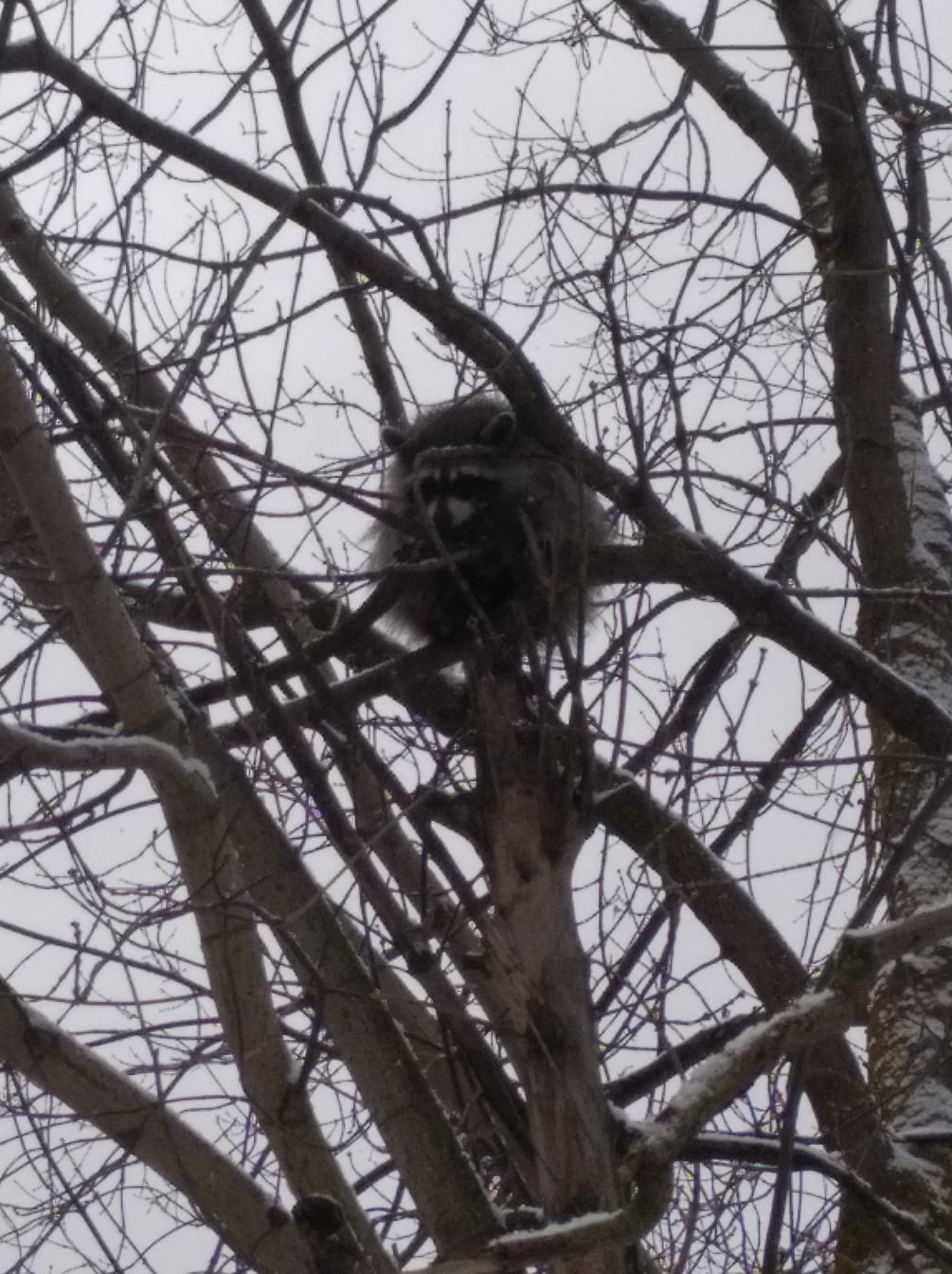 В Ярославле сбежавший енот спасался на дереве от ворон