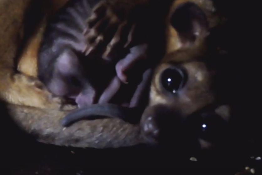 В Ярославском зоопарке новый обитатель: малыш появился в семье кинкажу