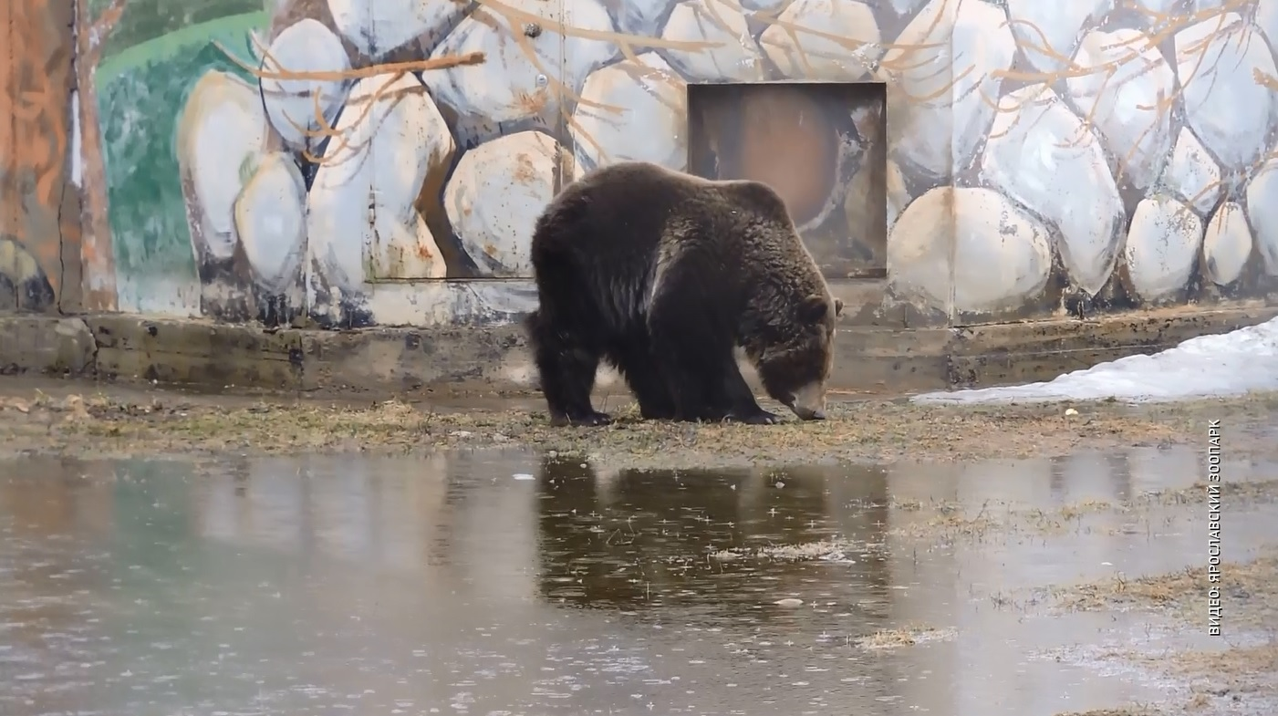 В Ярославском зоопарке проснулись медведи