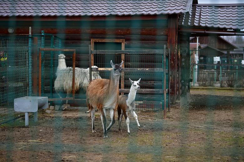 В Ярославском зоопарке в вольер выпустили детеныша ламы: кадры