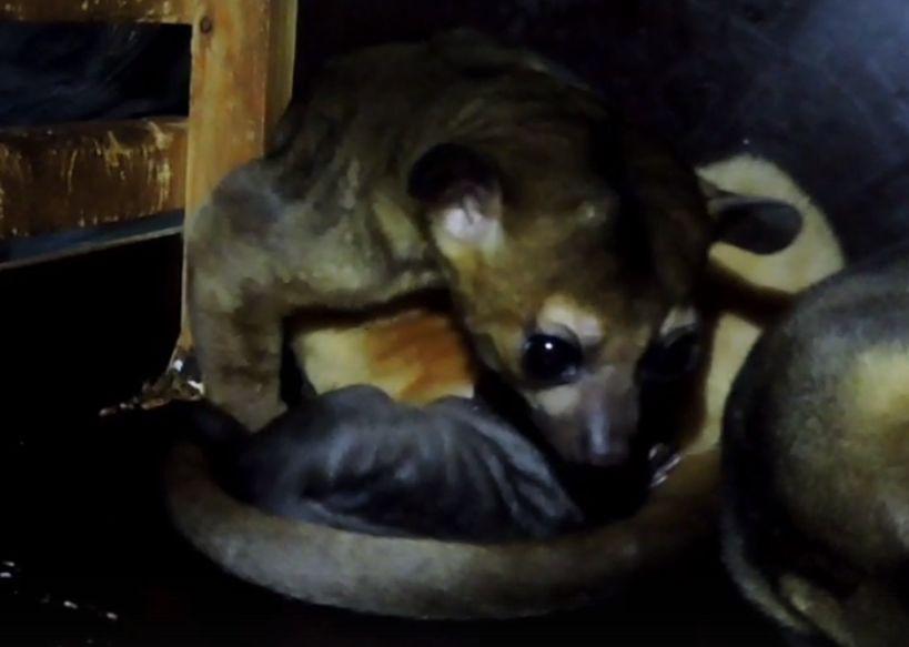 В Ярославском зоопарке дали имя малышу кинкажу