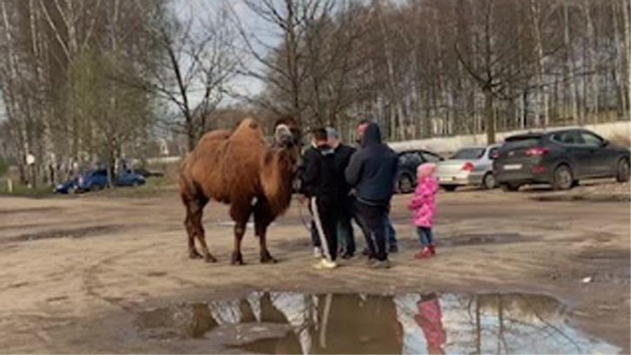 За катания на верблюде в Ярославле могут наказать владельца животного
