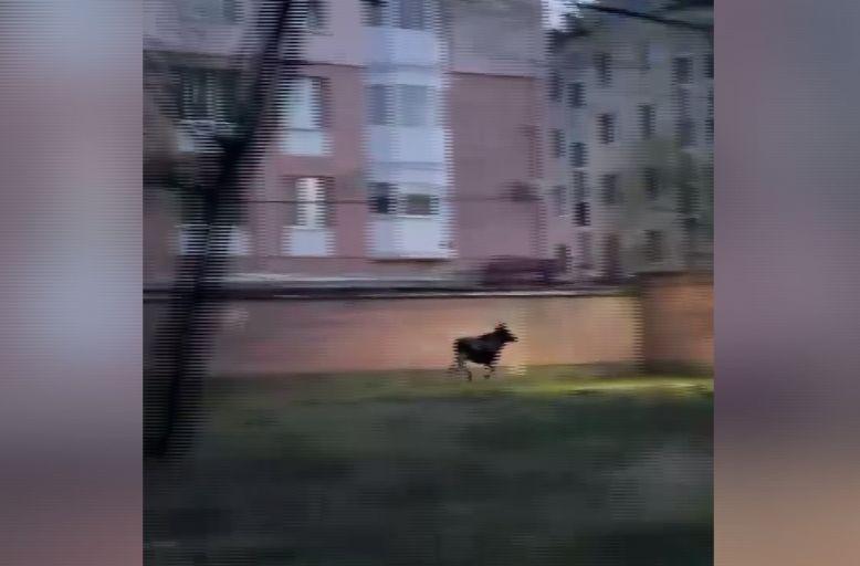 У жилого комплекса в черте Ярославля бегал лось: видео