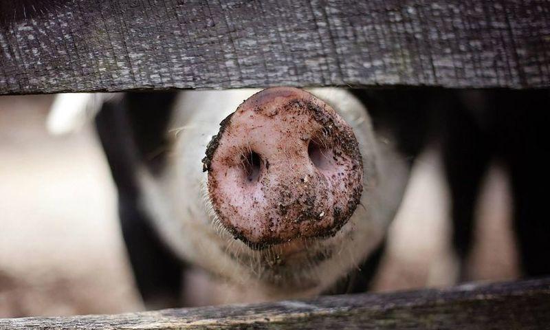 Под Ярославлем обнаружили очаг африканской чумы свиней