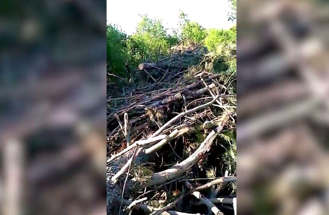 В Ярославской области нашли гору спиленных хвойных деревьев
