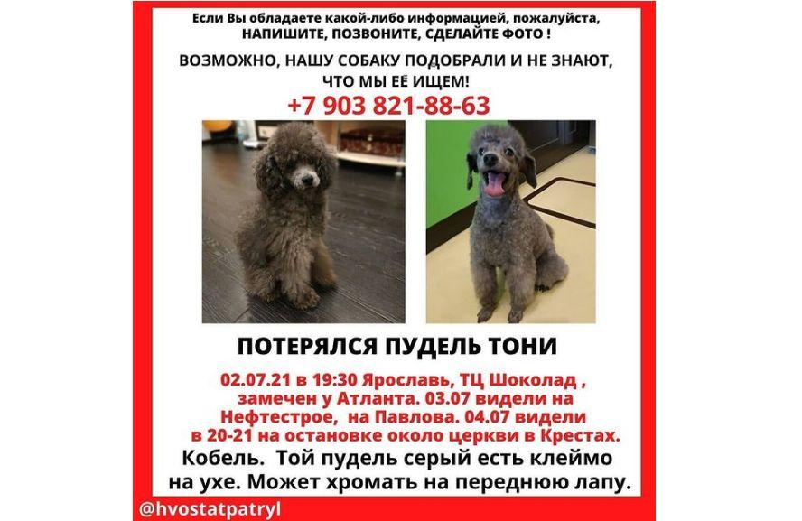 Ярославцев просят помочь в поисках пропавшего на Нефтестрое пуделя