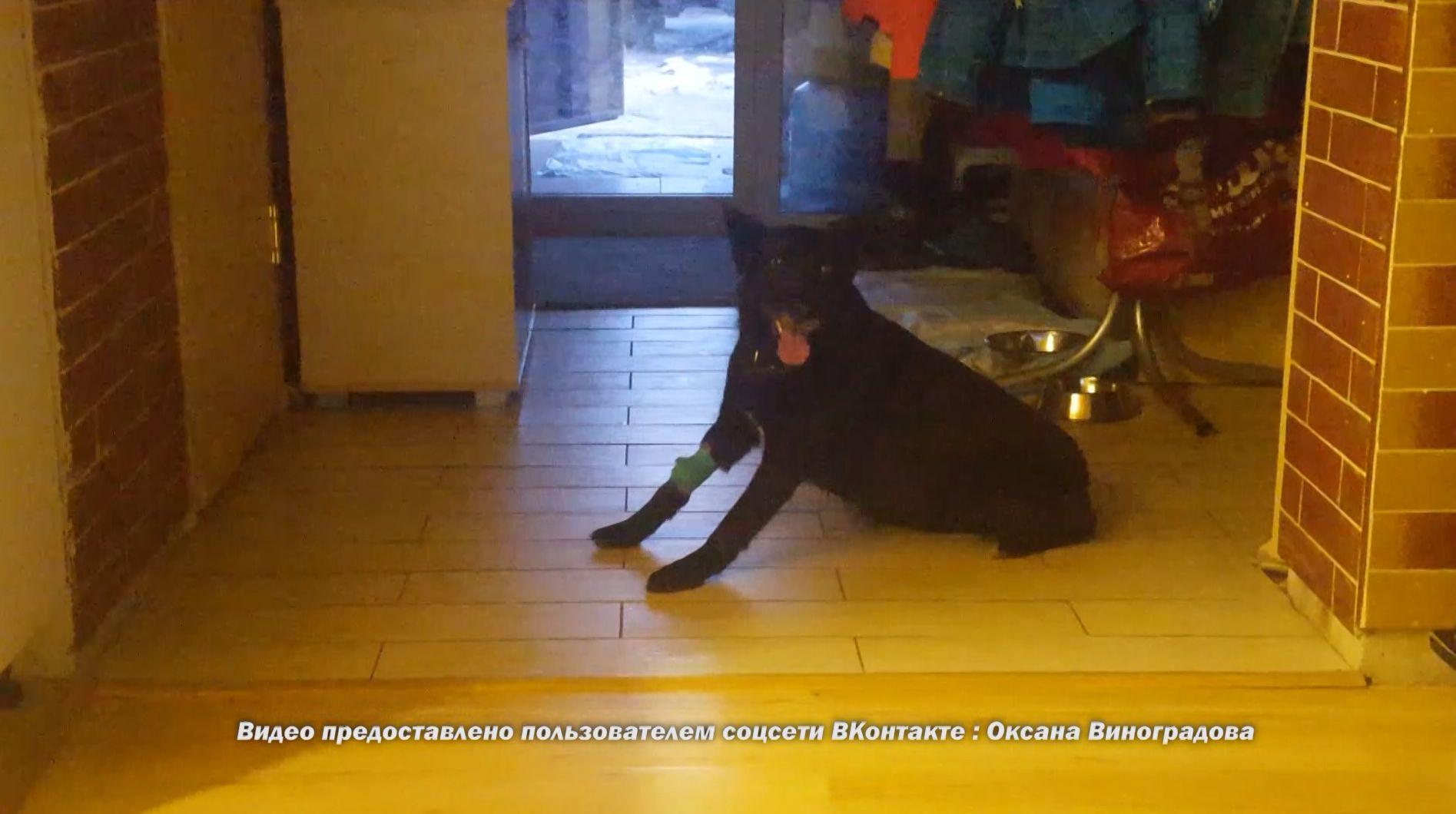 В Ярославле участились случаи отравления собак: в регионе активизировались догхантеры