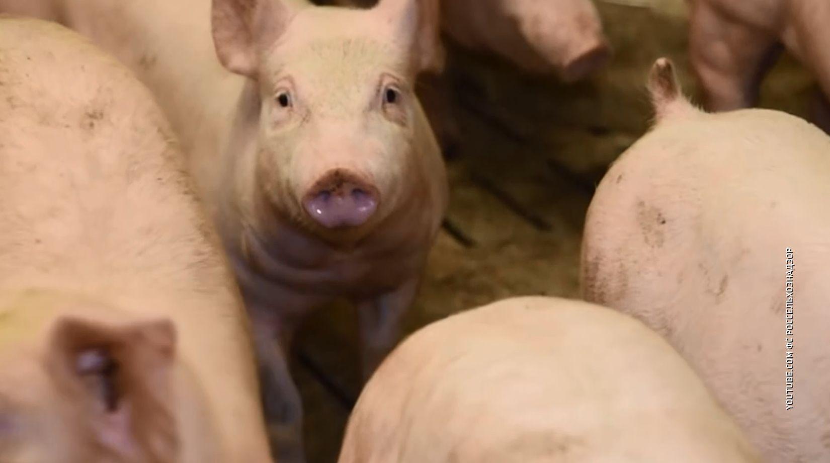 Африканская чума свиней в Ярославской области достигла небывалых масштабов
