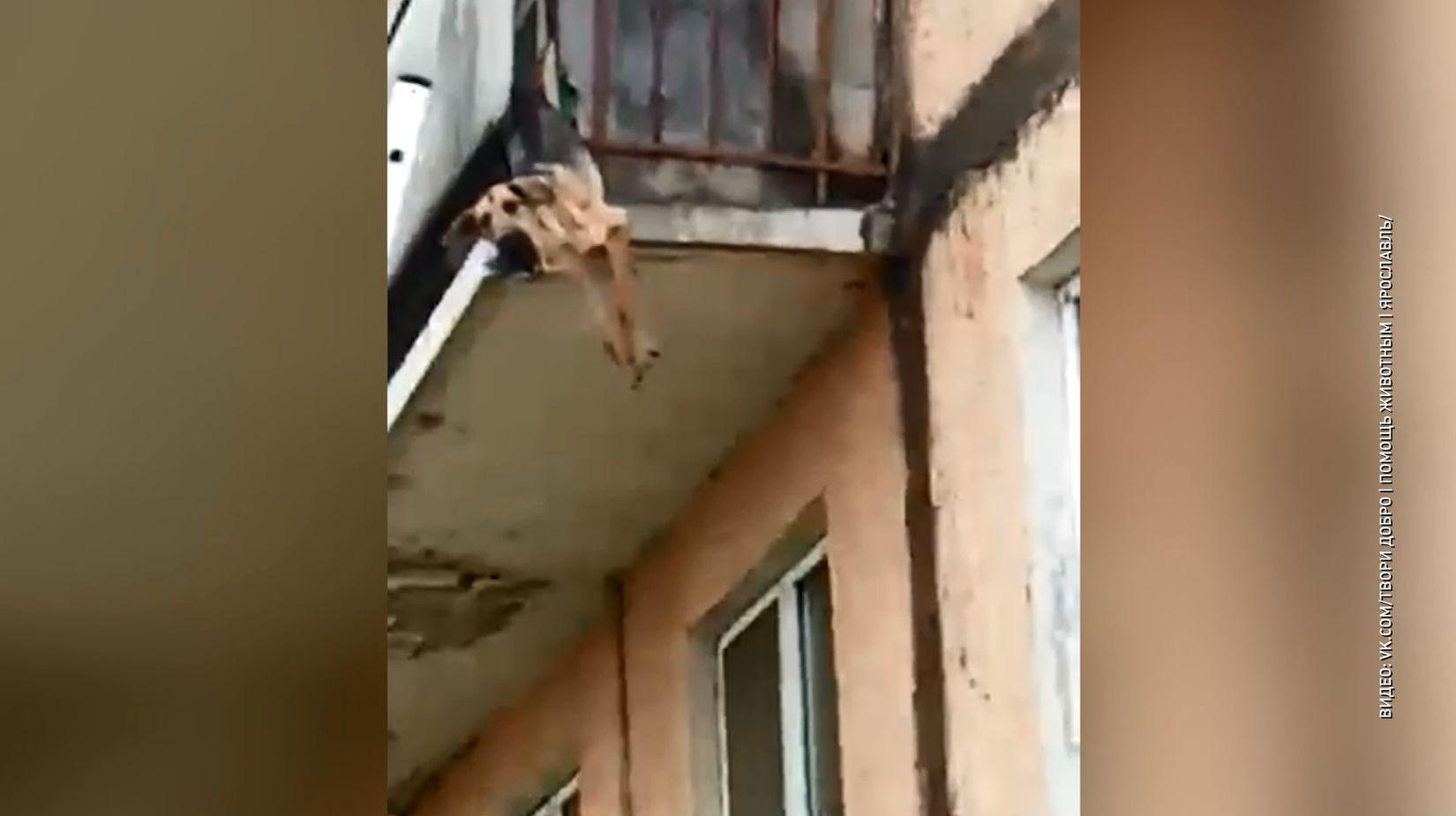 Истощённая собака, свисавшая с балкона дома в Тутаеве Ярославской области, находится в ветклинике