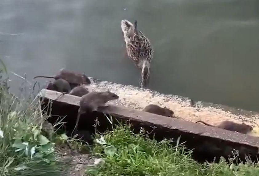 В ярославском парке крысы совершают набеги на место кормления птиц