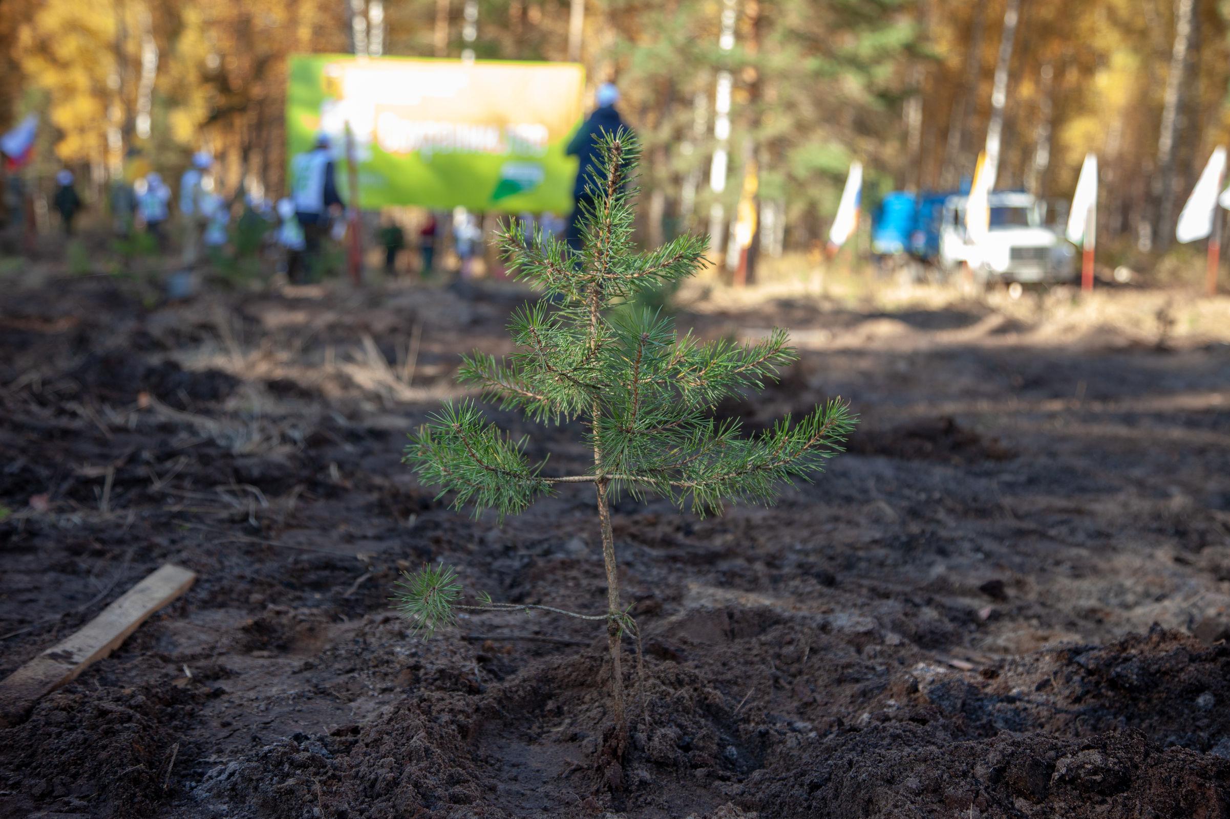 Лесовосстановление в Ярославской области в этом году проведено на площади более 6 тысяч гектаров