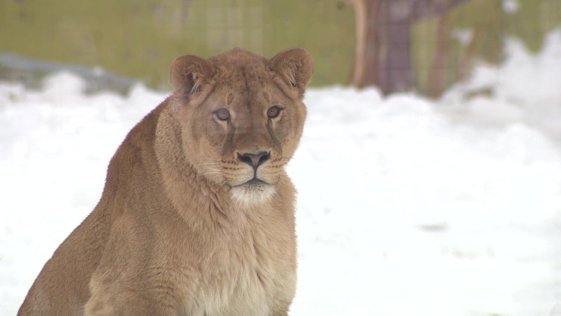 Львица-фотомодель из Москвы поселилась в Ярославском зоопарке