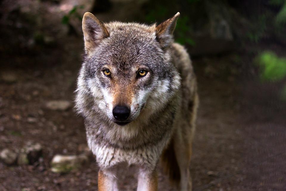 У населенного пункта в Ярославской области заметили собаку, похожую на волка